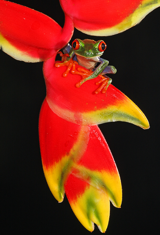 Red-eyed Green Tree Frog by G R Guy