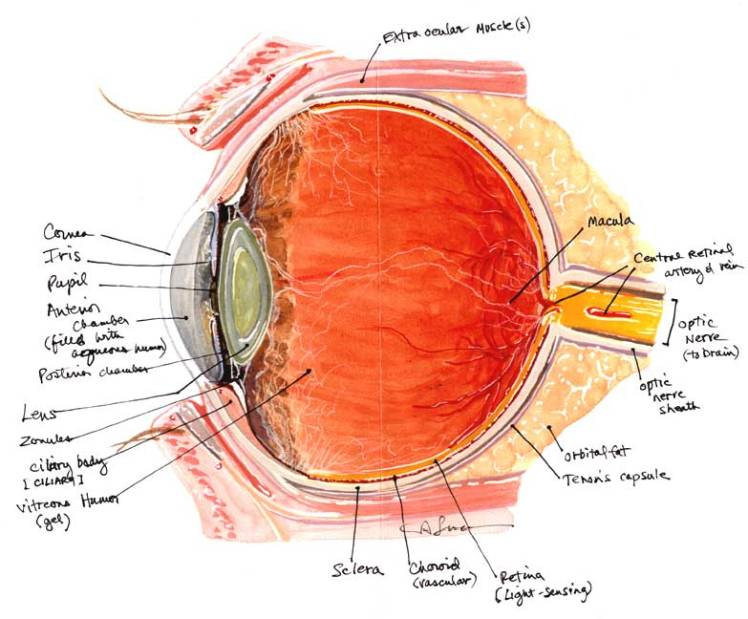 2 eye anatomy