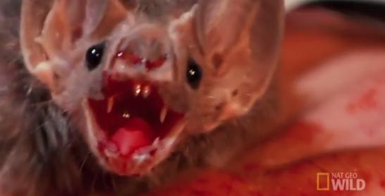 9 vampire bat