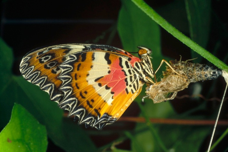 Malay Lacewing (Cethosia hypsea) butterfly emerging from cocoon, Malaysia