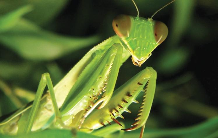 4 praying mantis