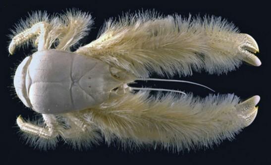 1b A deep sea crab with fur (Michel Segonzac)