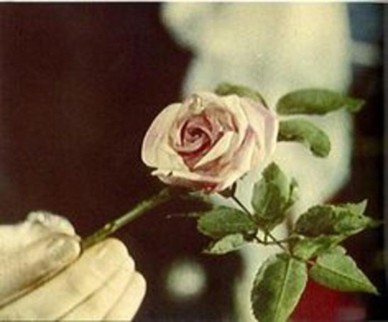 6 Tear on rose