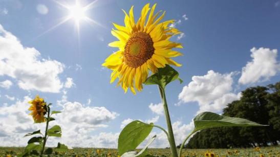 6b sunflowers