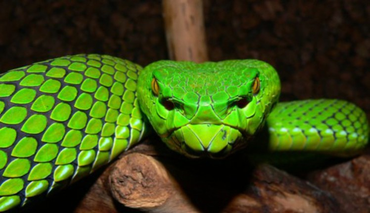 7a pit viper