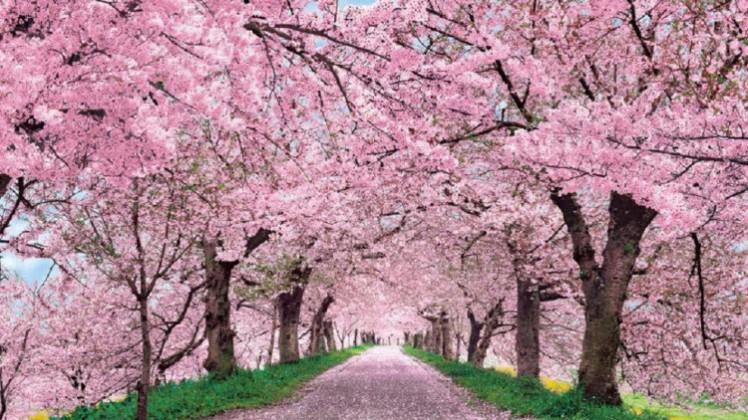 4 Cherry blossom